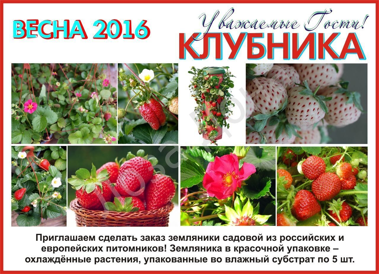 Клубника Весна 2016