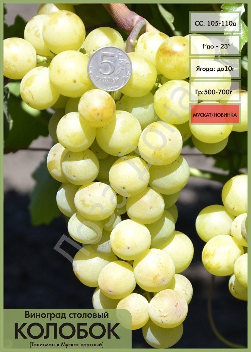 виноград колобок описание сорта фото