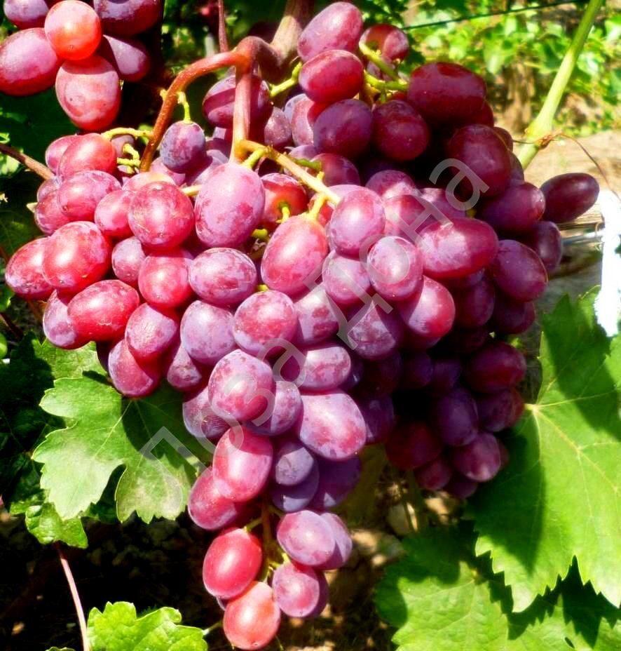 Сорт винограда Подарок Запорожью - fo 67