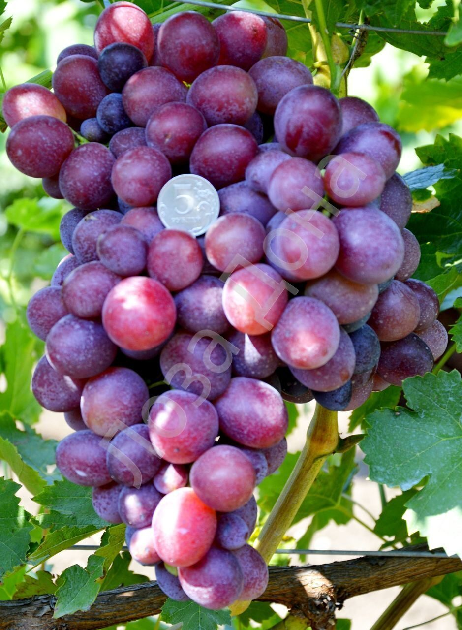 Виноград подарок свечникову описание сорта