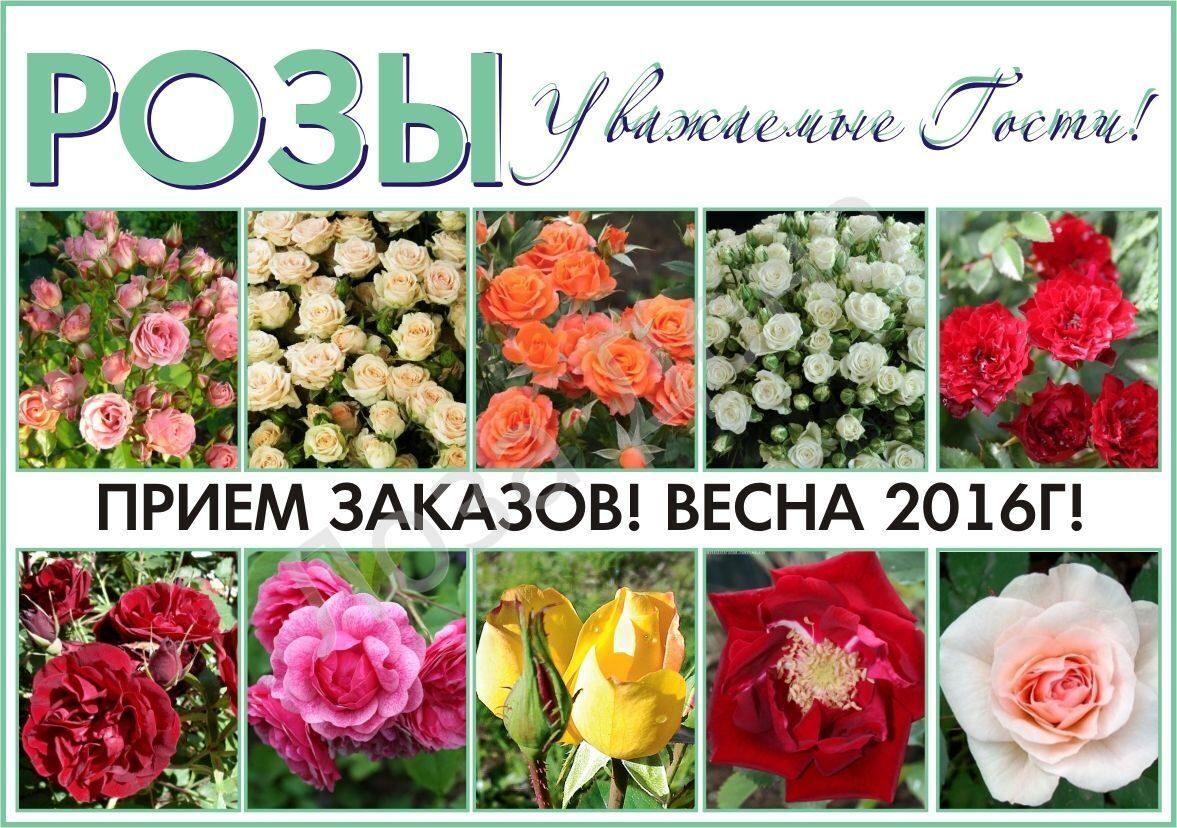 Розы 2016г кат