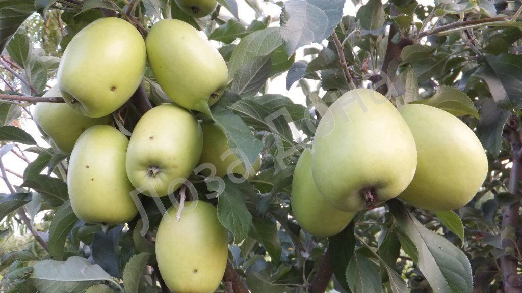 яблоки кандиль-синап как приготовить варенье
