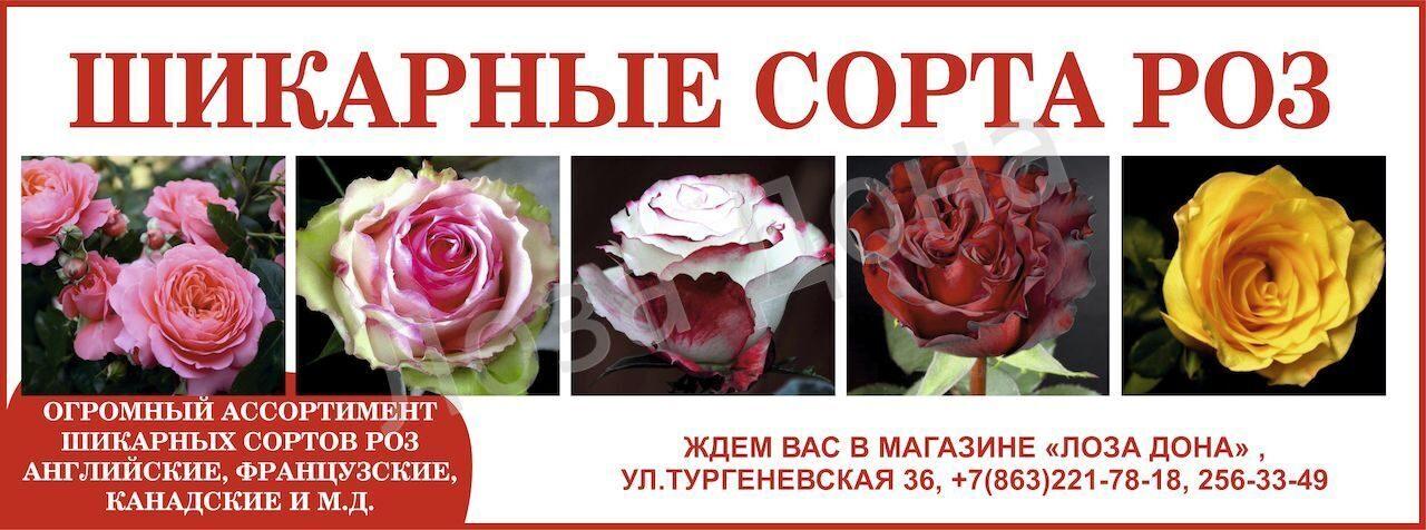 розы нов 2015