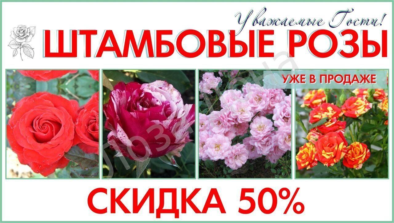 штамбовые розы скидка 50%