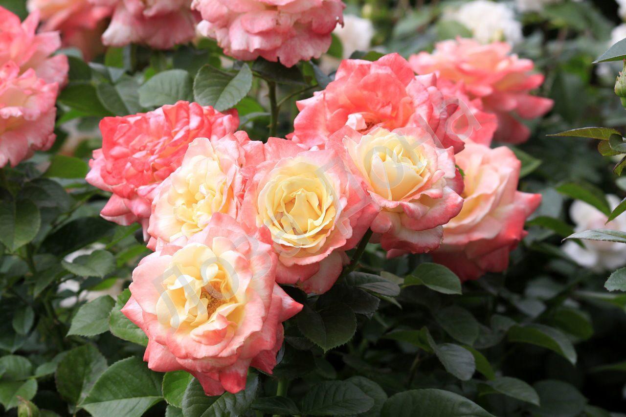Jalitah роза купить