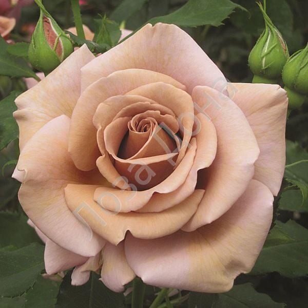 Роза коко-локо купить