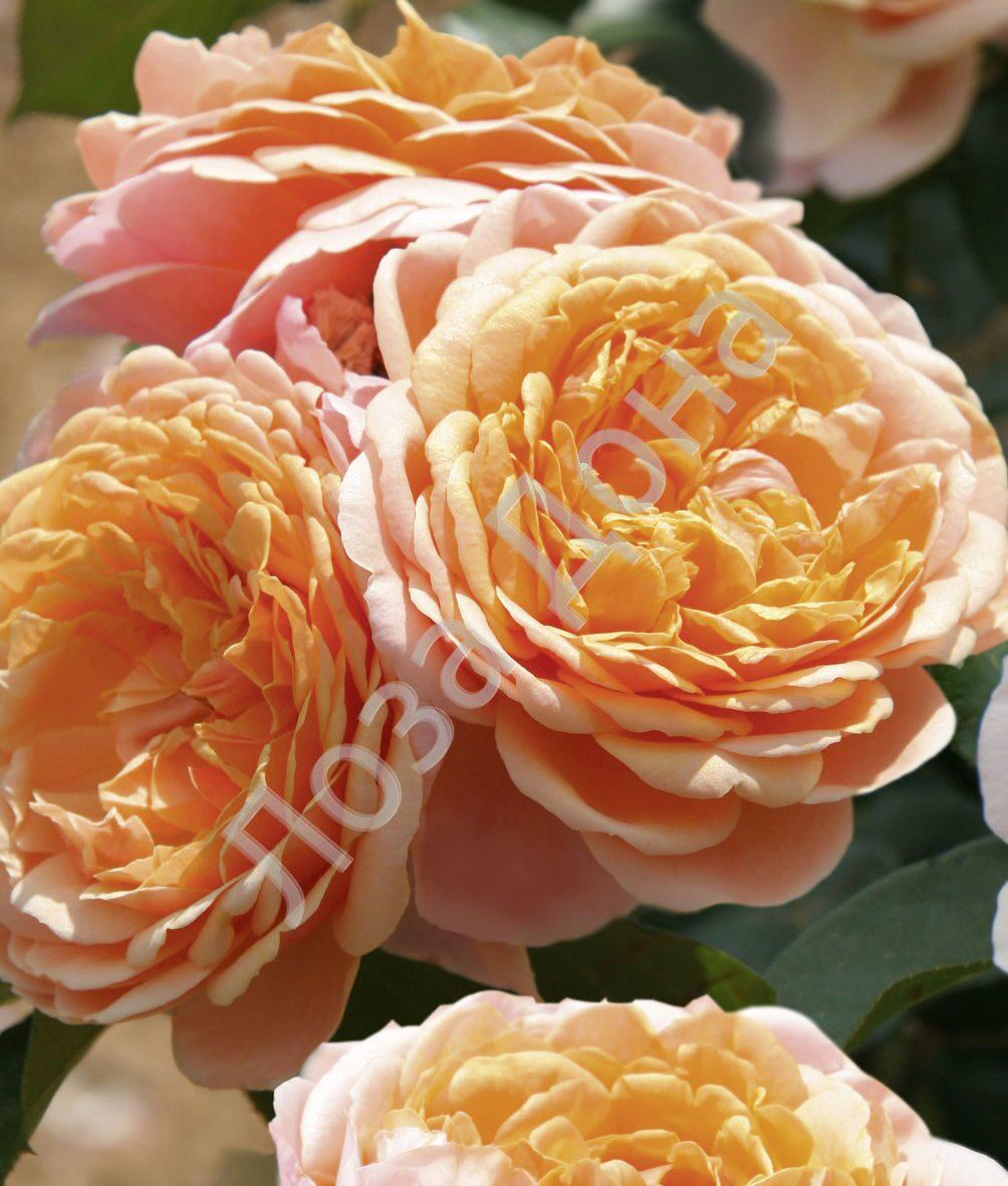 Роза parfum dorleans