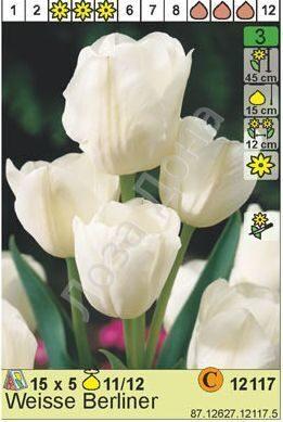 Вайс берлинер тюльпан