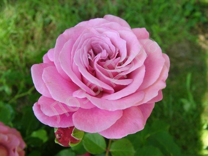 Роза агнес шиллингер