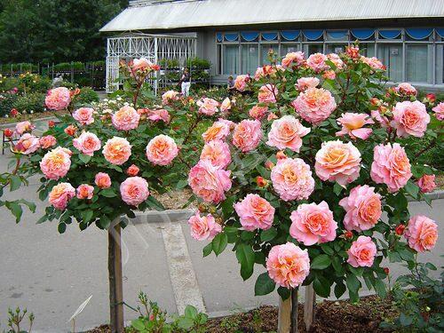роза штамбовая роза фото