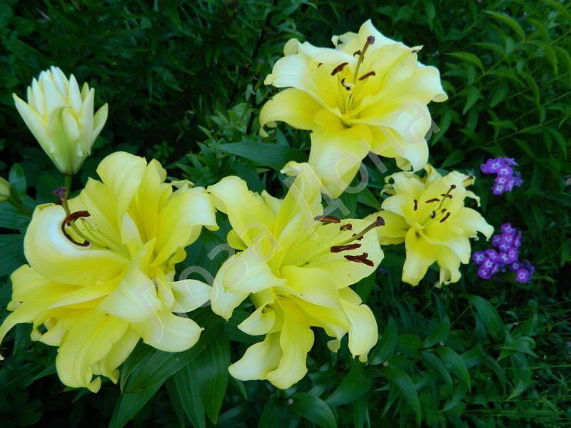 фото лилия экзотика
