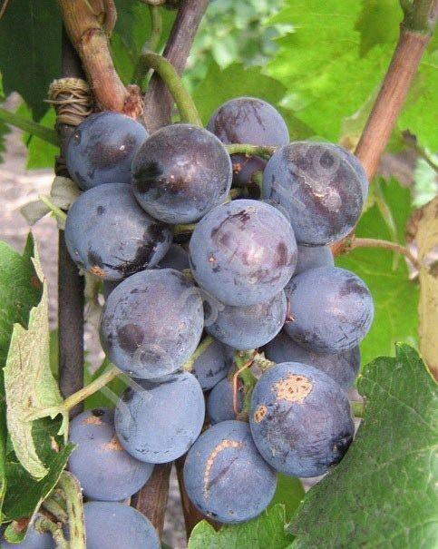 сорт винограда кехо фото и описание
