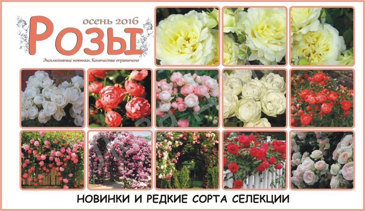 Розы осень 2016г