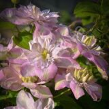 Клематис Инносент Блаш / Innocent Blush (Контейнер Р9)