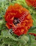 Мак Papaver Eye Catcher