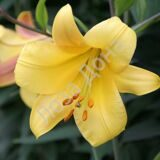 lilium_golden_splendour_3