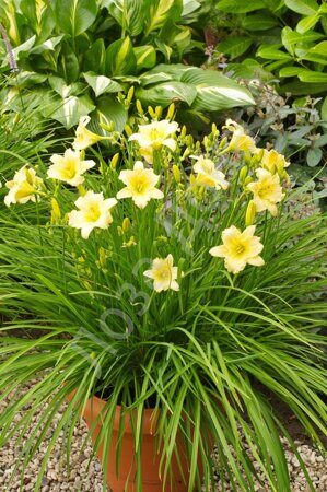daylily-everydaylily-cream-ball-hort-обложкаjpg