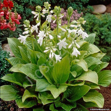 hosta_royal_standard_1обложка